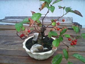 姫海棠の実成り - 盆栽便り