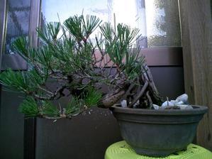 黒松の葉透かしと葉切りその4 - 盆栽便り