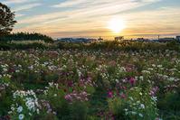 イシックス馬入のお花畑のコスモス - エーデルワイスPhoto
