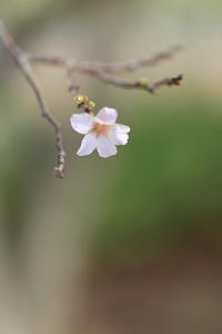 桜花一輪 - ecocoro日和