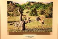 幼少時をアフリカで過ごした動物写真家、山形豪さんの写真展 - 旅プラスの日記