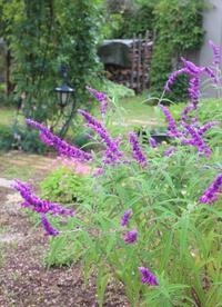 シュウメイギク終盤&民さんの野菊 - ペコリの庭 *