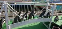 フンボルトペンギン - 気まぐれZOOⅡ