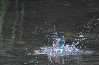 カワセミ、ダイビング風景連写 - 武蔵野散歩Ⅱ