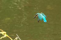 台風一過のN川カワセミ - 小川の野鳥達