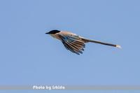 飛翔 - 野鳥 飛翔フォト