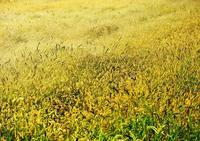 黄金色の絨毯 - 源爺の写真館