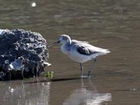 水辺にいたアオアシシギ - コーヒー党の野鳥と自然パート3