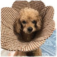 トイプーのクレアちゃん♪ - ハンドメイドのエリザベスカラー ★☆お花エリカラ☆★