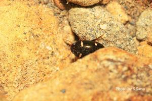 モンキマメゲンゴロウ(三浦半島産) - 海を歩くゲンゴロウ