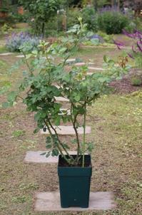 今年最後のバラ植え付けWITH政夫 - ペコリの庭 *