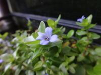 水草 - だんご虫の花