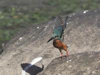 立田山でカワセミの飛びもの - たった一度の出会いから