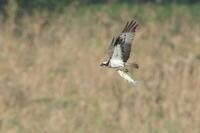 ミサゴの狩り Ⅱ 高度が上がらない - 気まぐれ野鳥写真
