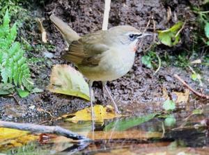 湖畔の森で①ノゴマ - 札幌発野鳥観察
