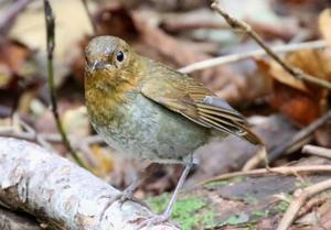 湖畔の森で②コマドリ - 札幌発野鳥観察