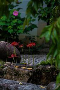 妙蓮寺に咲く彼岸花と秋の花々 - 鏡花水月