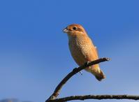 モズ - 『彩の国ピンボケ野鳥写真館』