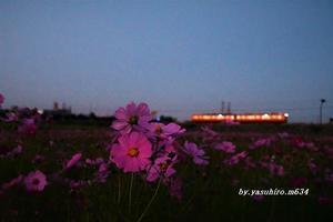 コスモス畑を - 俺の心旅