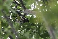 クロツグミ・マミチャジナイなどツグミ類4種 - でっかん散歩