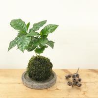 コーヒーの木苔玉ワークショップ - さにべるスタッフblog     -Sunny Day's Garden-