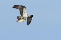 ミサゴの狩り Ⅲ 何度も旋回して - 気まぐれ野鳥写真