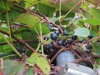 ひっそりと育っていたブドウ - 北海道・池田町のワインの国からお知らせです