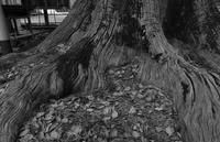 楠の老木 - きくじの独り言