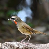 千里南公園ノゴマ他 - 不定期更新 彩都付近の自然観察日記