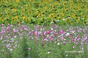 知多の花畑 - 俺の心旅