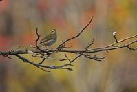 ビンズイ@北海道。 - 季節の野鳥~Wildbirds archives