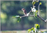 モズの幼鳥 - 野鳥の素顔 <野鳥と日々の出来事>