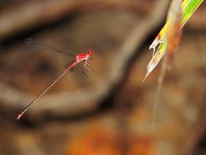 西表遠征アカナガイトトンボByヒナ - 仲良し夫婦DE生き物ブログ