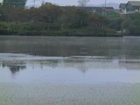 10月18日(金)川鵜の御一行様 - 上野池公園日記@広島県庄原市