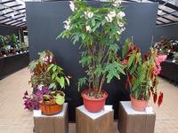 始まります、秋のベゴニア展 - 手柄山温室植物園ブログ 『山の上から花だより』