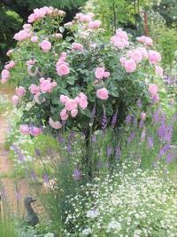 苗の移植三昧&ハロウィンのお菓子 - ペコリの庭 *
