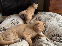「もうすぐ猫団子になるかにゃん」 - もるとゆらじお