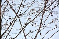 珍しい子たちユキホオジロ - ノラニンジンの咲く庭