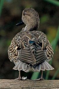 カモの季節。 - 季節の野鳥~Wildbirds archives
