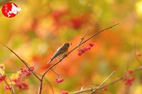 秋色のムギマキマユミ編 - イチガンの花道