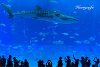 おさかないっぱい。人もいっぱい。美ら海水族館! @沖縄 - 趣味とお出かけの日記