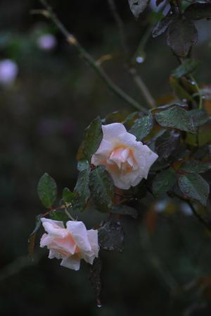 10/18 夕暮れに浮かぶバラ - 「あなたに似た花。」