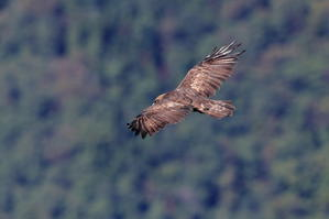 羽ばたかない イヌワシ - 野鳥公園