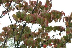 庭の落葉樹 - ミセス サファイア 静けさの中で