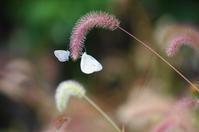 ネコジャラシと蝶 - 風見鶏日記
