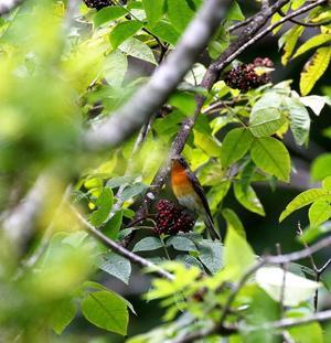 何とかムギマキ若♂が・・・ - 一期一会の野鳥たち