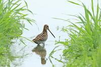 タシギ長い嘴 - 気まぐれ野鳥写真