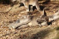 秋のSCZOO:落ち葉とカンガルー~夕暮れヤマアラシ夫妻(November 2018) - 続々・動物園ありマス。