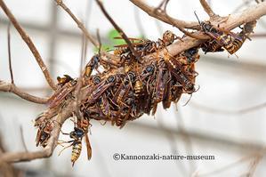 アシナガバチが集まっている - 観音崎自然博物館どたばた学芸日誌 II