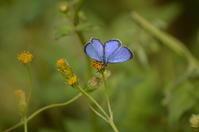 ヤクシマルリシジミ10月20日 - 超蝶